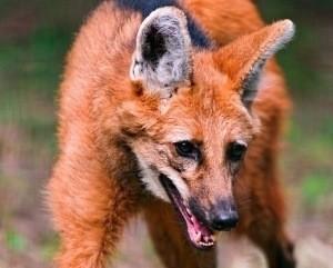 maned-wolf 3