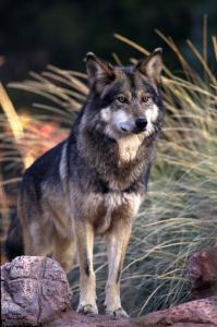 Mexican Wolf (captive) credit AZ Zoological Society flipped