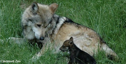 Mexican_wolf_and_pup_horizontal_pc_Cincinnati_Zoo495x252