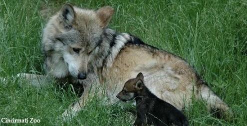 Mexican_wolf_and_pup_horizontal_pc_Cincinnati_Zoo495x252
