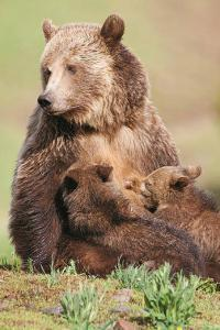 Grizzly with cubs, Goal Tribal.org