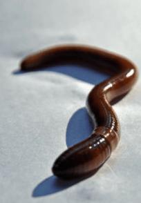 Amynthes agrestis; National Park Service photo