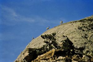 Bighorn sheep, Missouri Wild & Scenic River, c/o Dave Foreman