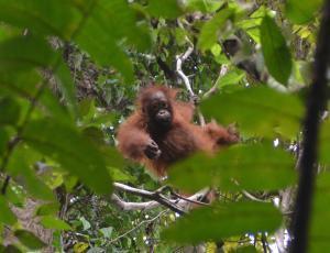 Orangutan in Borneo, c/o Suzanne York