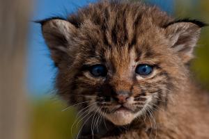 Baby Bobcat (c) Robin Silver Photography