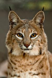 Bobcat (c) Robin Silver Photography