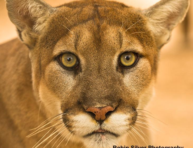 Mountain Lion (c) Robin Silver