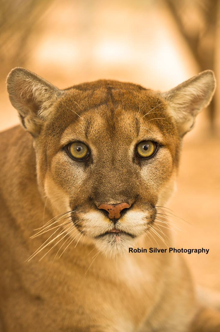 Mountain Lion (c) Robin Silver