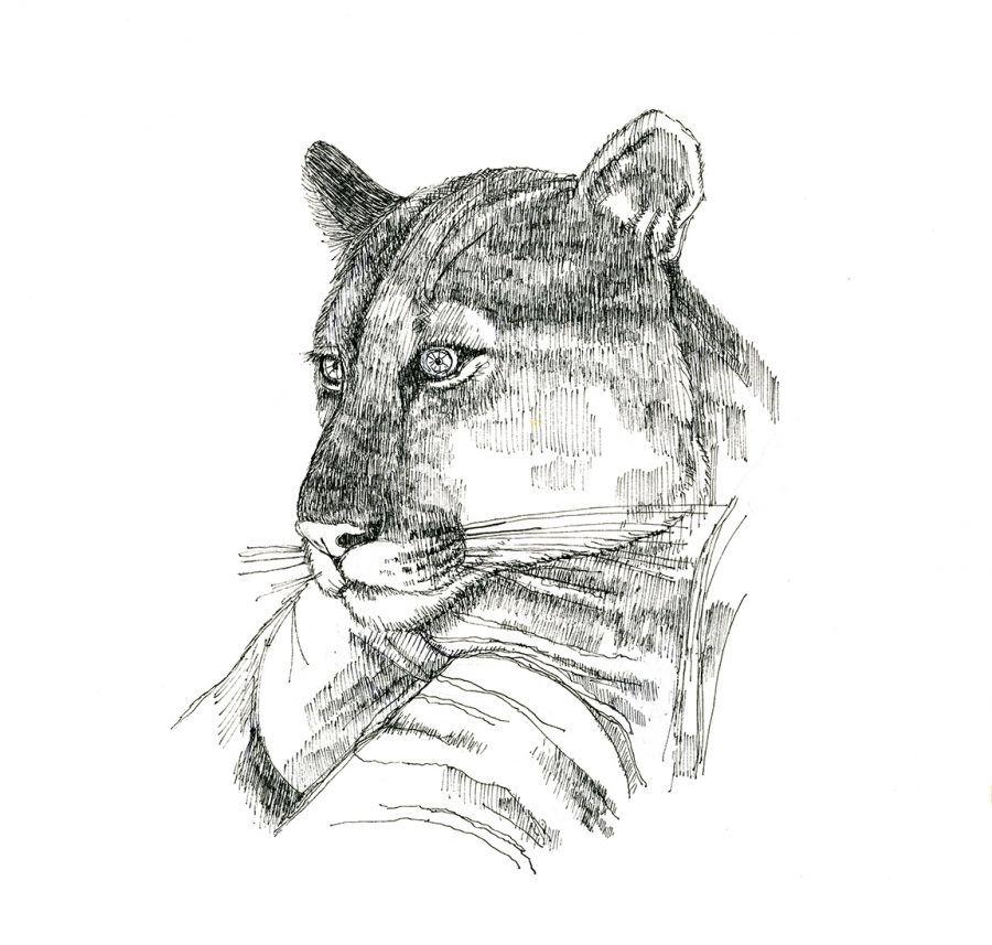 Cougar (c) Susan Morgan