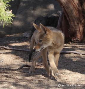 Coyote pup (c) Kreuter