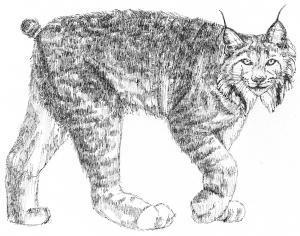 Lynx (c) Susan Morgan
