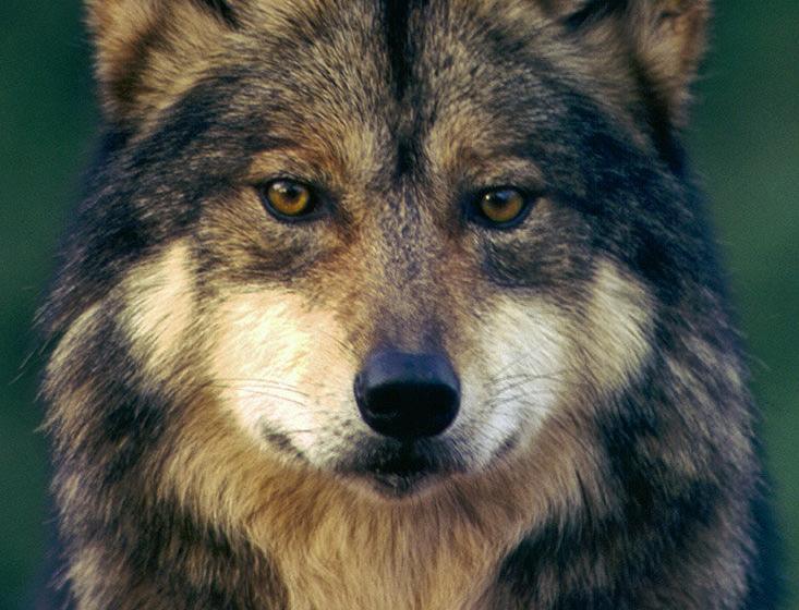 Mexican Gray Wolf, Phoenix Zoo (c) Robin Silver