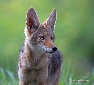Coyote Puppy (c) Monte Deignan