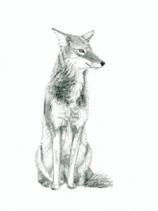 Wiley Coyote (c) Susan Morgan