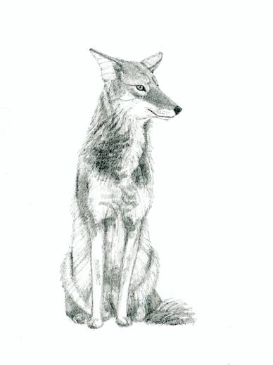 Wiley Coyote (c) Susan Morgan