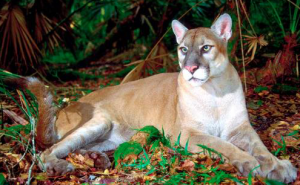 Florida Panther, (c) Larry Richardson, US fish & Wildlife Services