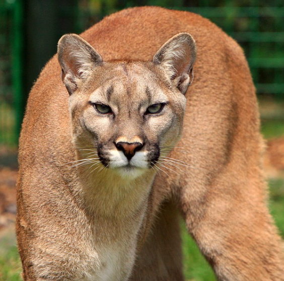 Mountain Lion, public domain
