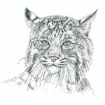 Bobcat (c) Susan Morgan