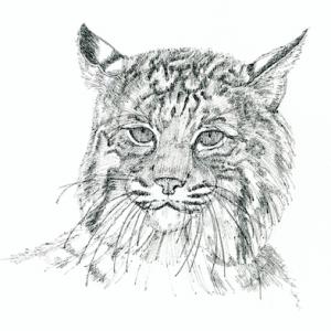 Bobcat (c) Susan Morgan