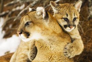 Cougars (c) Bruce J. Lichtenberger/Corbis