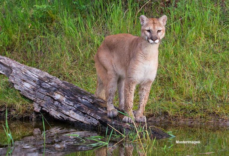 Cougar (c) MasterImages