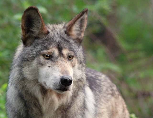 The Saga of the Mexican Gray Wolf (el Lobo)