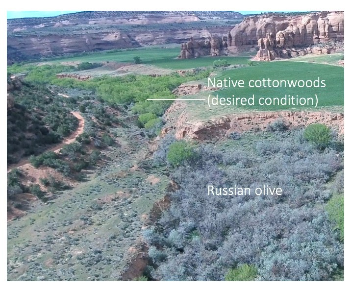 Desired vs Russian Olive (c) Kenyon Fields