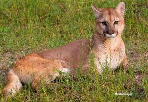 Cougar (c) Larry Masters
