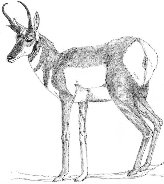 Antelope (c) Susan Morgan