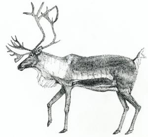 Woodland Caribou c/o Susan Morgan
