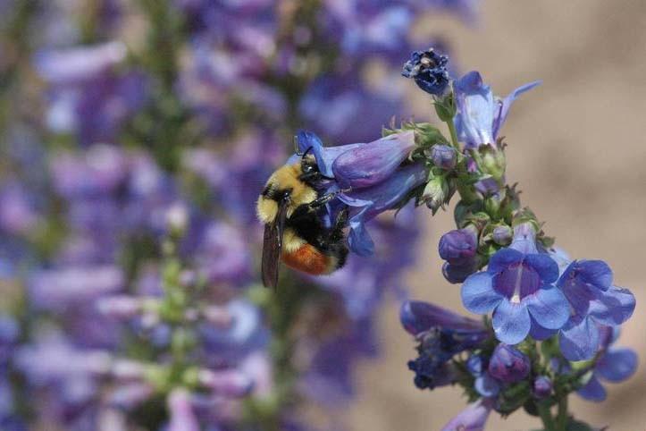 Bumblebee c/o Bob Hammon, Colorado State Univ. bugwood