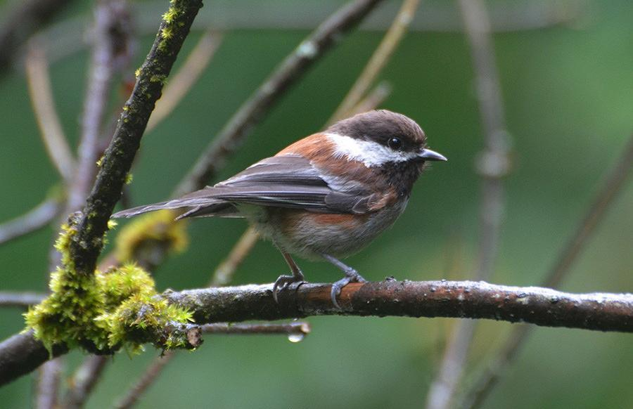 Chestnut backed chickadee c/o A.Reago & C. McClarren