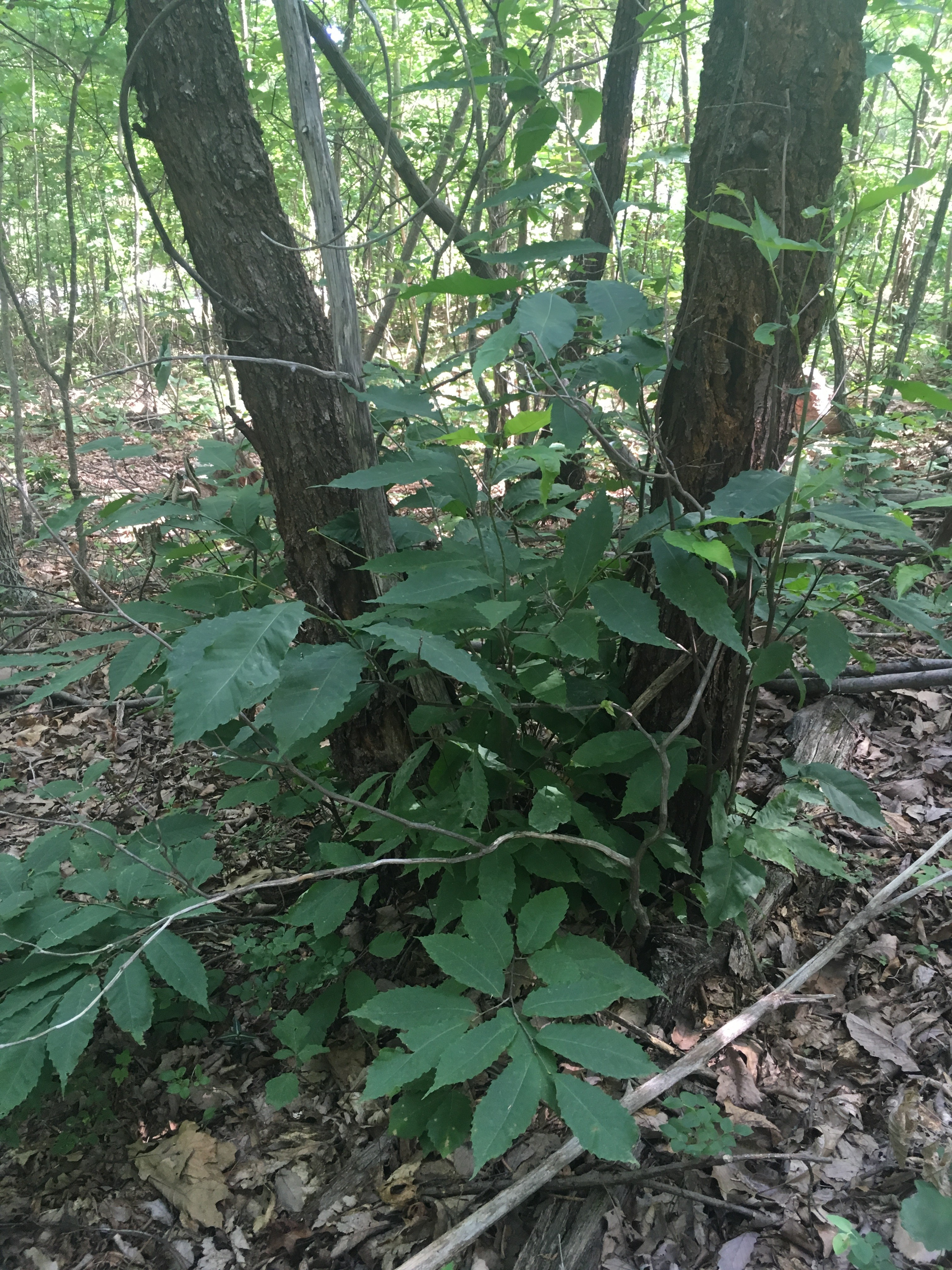 Typical appearance of an American chestnut in the wild. There are small, 5' tall sprouts coming from the base of bigger, blight-killed stems.