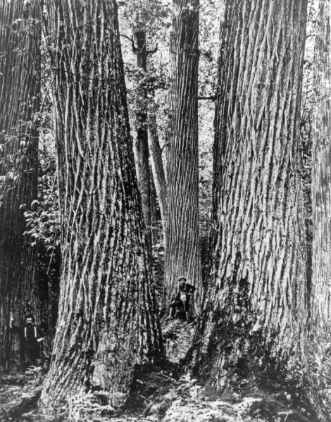 Chestnut Giants in Great Smoky Mountains of Western North Carolina, 1910 c/o Forest History Society