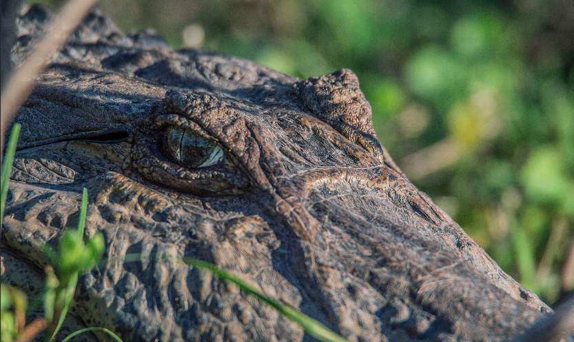 Alligator c/o Rafael Abuín Aido