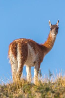 Patagonia, guanaco c/o Matias Rebak