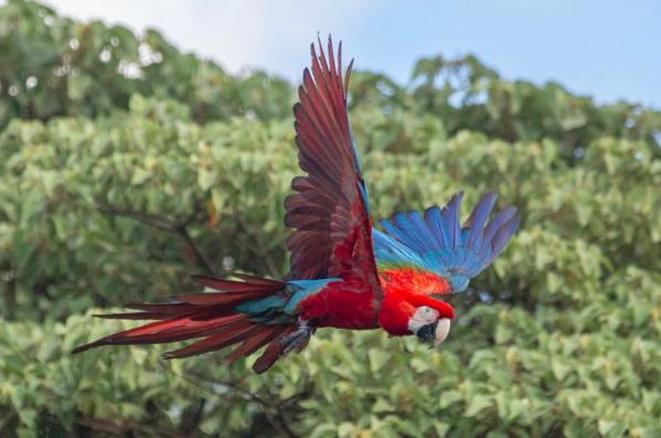 Ibera, green-winged macaw c/o Matias Rebak