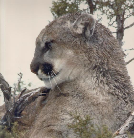 Cougar (c) John Laundre'