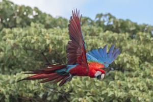 ibera macaw