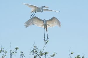 cranes-ibera