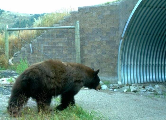 Black Bear (c) CSKT, MDT, & WTI-MSU