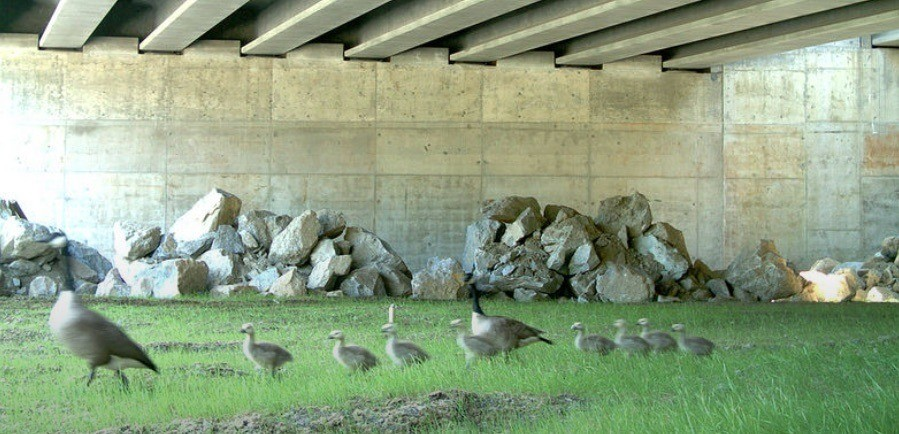 Geese with young pass under I-90 in Washington State (c) Conservation Northwest