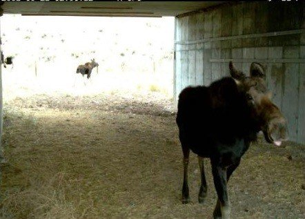 Moose in Nugget Canyon underpass, located along US 30 between Sage Junction and Kemmerer. The Nugget Canyon wildlife underpass area consists of seven box culverts with 15 miles of wildlife fencing. (c) Wyoming Wildlife and Fisheries