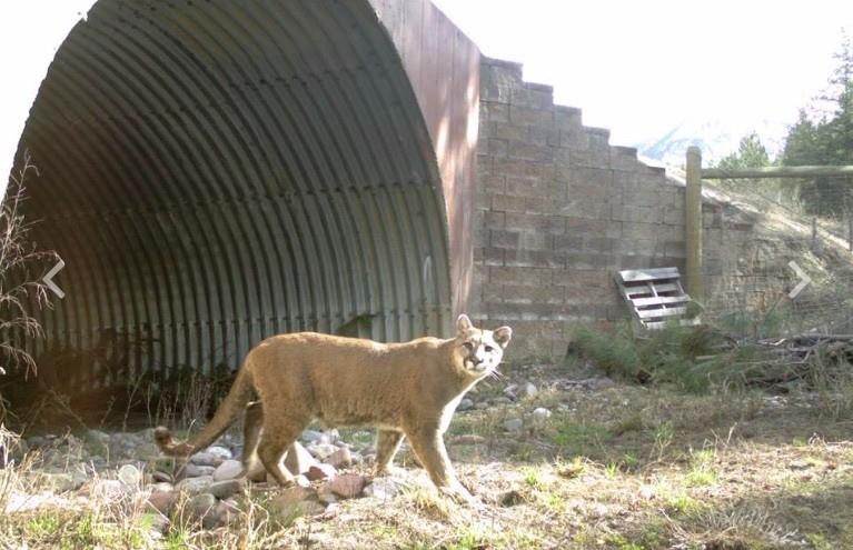 Mountain Lion (c) CSKT, MDT, & WTI-MSU