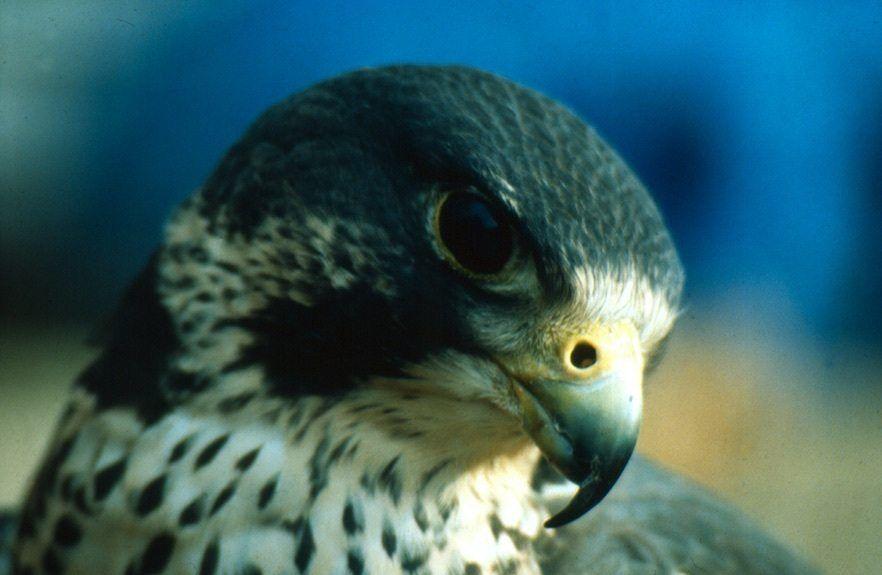 Peregrine Falcon (c) Darren Burkey