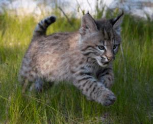 Bobcat Kitten (c) MasterImages