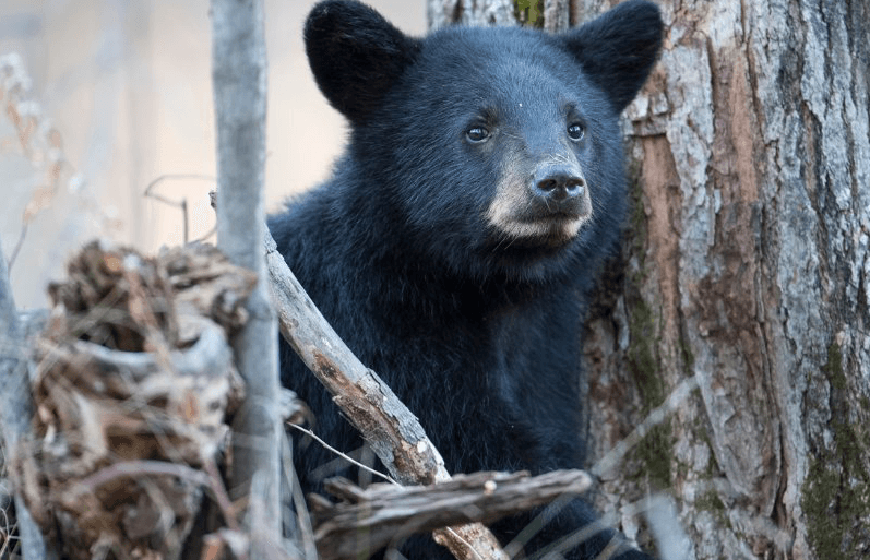 Black Bear (c) MasterImages