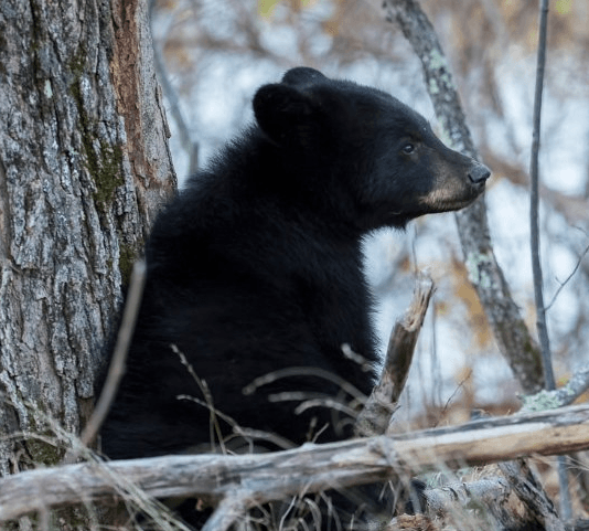 American Black Bear (c) MasterImages