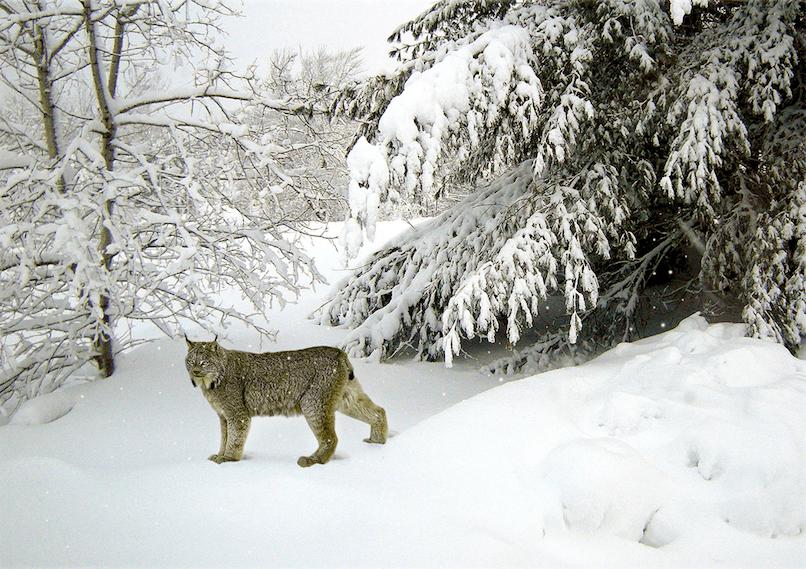 Lynx (c) Darren Burkey