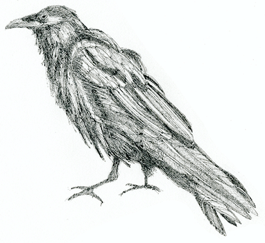 Raven (c) Susan Morgan